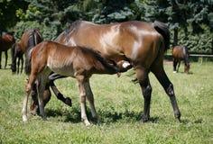 Égua e seu potro no prado Fotografia de Stock