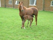 Égua e Suckling Fotografia de Stock Royalty Free