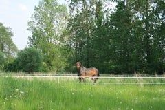 Égua em um prado cercado foto de stock