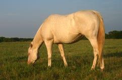Égua grávida de Perlino Imagem de Stock Royalty Free