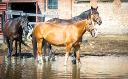Égua grávida do cavalo do quarto da baía no pasto da queda Fotos de Stock