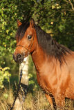 Égua lindo do pônei com a cabeçada agradável da mostra Fotografia de Stock