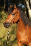 Égua lindo do pônei com a cabeçada agradável da mostra Imagens de Stock Royalty Free