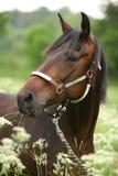 Égua marrom bonita com cabeçada Imagens de Stock