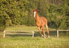 A égua nova galopa no pasto Fotografia de Stock