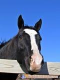 Égua preta Foto de Stock