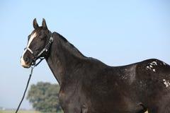 Égua preta do appaloosa com cabeçada ocidental Imagem de Stock