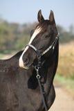 Égua preta do appaloosa com cabeçada ocidental Fotografia de Stock