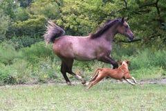 Égua que galopa no pasto com um buldogue Fotografia de Stock Royalty Free
