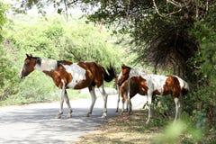 Égua - um cavalo fêmea com seu ébano Fotos de Stock Royalty Free