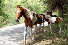 Égua - um cavalo fêmea com seu ébano Foto de Stock