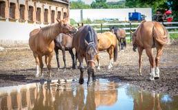 Égua Unsuited que descansa em um prado perto das poças enormes da água com a reflexão o céu Imagem de Stock