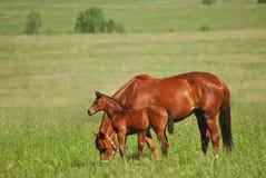 Égua vermelha e potro vermelho Fotografia de Stock Royalty Free