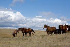 Éguas do cavalo de um quarto no pasto Imagens de Stock Royalty Free