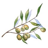 Élément d'isolement d'illustration d'olives vertes Feuillage vert de feuille Ensemble d'illustration de fond d'aquarelle illustration stock