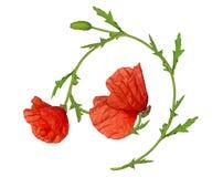 Élément d'ornement d'isolement par fleur rouge de pavot Images stock