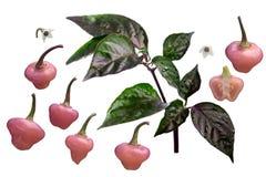 Éléments de chinense des piments C de Cheiro Roxa, chemins Photo libre de droits