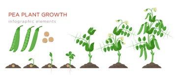 Éléments infographic d'étapes de croissance de plantes de pois dans la conception plate Le procédé de plantation des pois des gra illustration libre de droits