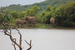 Éléphant à un point d'eau Image libre de droits