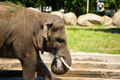 Éléphant éclaboussant avec de l'eau Photo stock