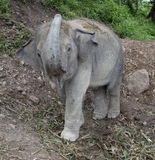 Éléphant, éléphant de chéri Photos libres de droits