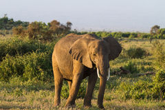 Éléphant énorme savanna Le Kenya Le Kenya, montagne de Kilimanjaro images stock