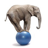 Éléphant équilibrant sur une boule bleue. Image stock