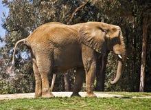 Éléphant Photographie stock libre de droits