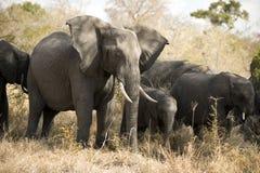 Éléphant Photographie stock