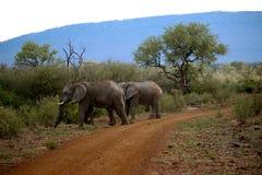 Éléphant Image stock
