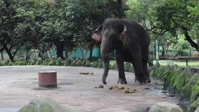 Éléphant adorable heureux de l'Indonésie dans la cage composée banque de vidéos