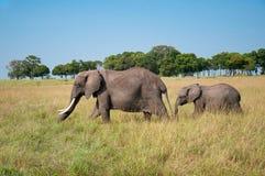 Éléphant adulte avec la tasse rôdant autour dans la savane africaine en parc national Masai Mara au Kenya image stock
