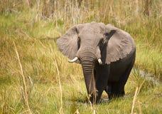 Éléphant africain #1 Images libres de droits