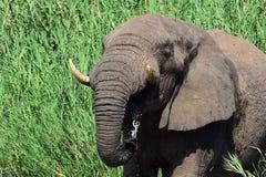Éléphant africain Photo stock