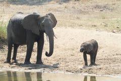 Éléphant africain Photos stock