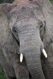 éléphant africain Image stock