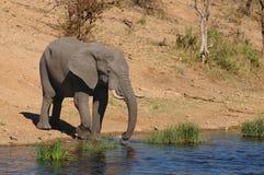 Éléphant africain (africana de Loxodonta) Image libre de droits