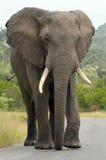 Éléphant africain (africana de loxodonta) en parc national de Kruger. Images libres de droits
