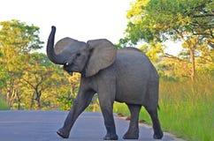 Éléphant africain (africana de loxodonta) en parc national de Kruger. Photographie stock libre de droits