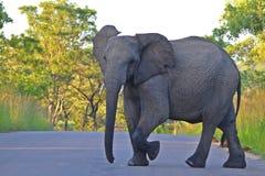 Éléphant africain (africana de loxodonta) en parc national de Kruger. Image stock