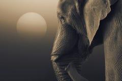 Éléphant africain, africana de Loxodonta, se tenant avec l'augmentation du soleil photo stock