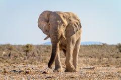 Éléphant africain au point d'eau en parc national d'Etosha, Namibie photos libres de droits