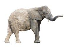 Éléphant africain avec le chemin de découpage Photographie stock libre de droits
