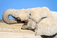 Éléphant africain buvant en parc national d'Etosha, Namibie, Afrique photo stock