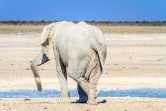 Éléphant africain détendant au point d'eau en parc national d'Etosha, Namibie, Afrique photographie stock libre de droits