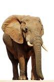 Éléphant africain d'isolement Bull (africana de loxodonta Image stock