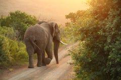 Éléphant africain dans le coucher du soleil Photographie stock