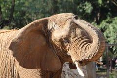 Éléphant africain dans le zoo Photo libre de droits