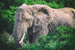 Éléphant africain dans les buissons étroits vers le haut de la vue en Addo National Park images libres de droits