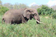 Éléphant africain dans les roseaux Image libre de droits